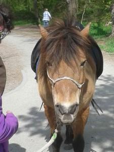 Das Therapiepferd ist idealerweise ein gut ausgebildetes, ruhiges Kleinpferd mit schwungvollem sicheren Schritt.